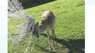 Deery me! RSPCA rescue deer tangled in sports netting