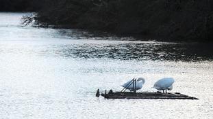 Swans on the stricken raft.