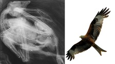 An x-ray of the red kite.