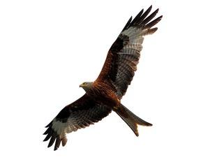 A red kite.
