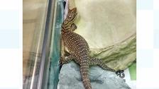 The six-inch lizard had burrowed itself inside a suitcase