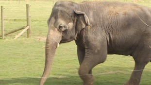 The number of asian elephants are rapidly declining due to deforestation and poaching.