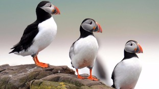 Puffins are among the birds on the 'red list'.
