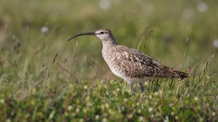 There are 67 birds on the red list, including the curlew.
