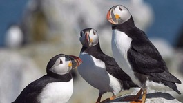 Puffins under threat of global extinction
