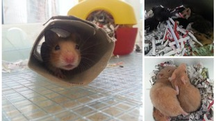 RSPCA 'inundated' with baby hamsters