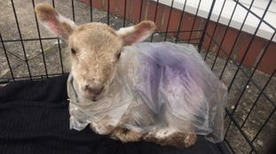 The stray lamb was found in Dumfries