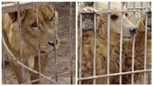 Simba and Lula were found abandoned and close to starvation.