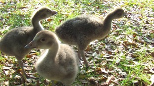 World's rarest goose hatched at Paignton Zoo