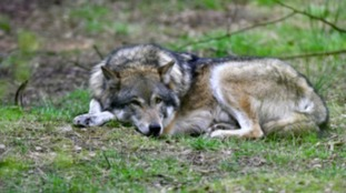 Suffolk to remain 'wolf-free' after April pranksters get walkers howling