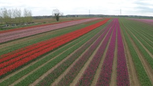 Spectacular display of tulips blooming in time for Easter weekend