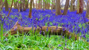 Bluebells in bloom in a wood near Braintree in Essex.