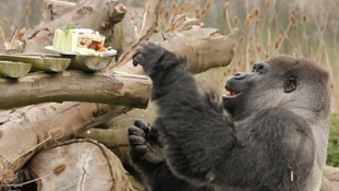 VIDEO: Birthday cake for Ambam as world famous gorilla turns 27