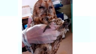 Exhausted owl rescued after getting stuck in glue trap