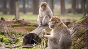 Barbary macaques tucking into egg-shaped treats.