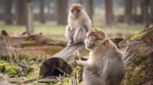 Barbary macaques tucking into egg-shaped treats.