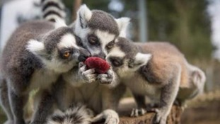 Ring-tailed lemurs fighting over an egg-shaped beetroot treat.