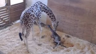 World's most famous giraffe April gives birth to calf