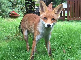A fox in a west London garden.