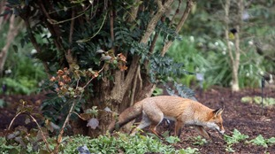 A fox at Kew Gardens in London.