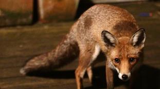 An urban fox in a garden in north London.
