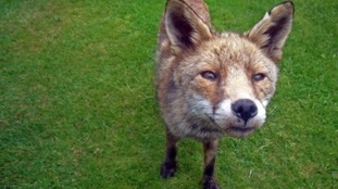 New research reveals more foxes in Bournemouth than the countryside