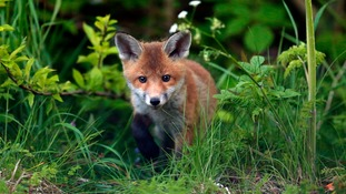Three foxes die from 'suspected poisoning'