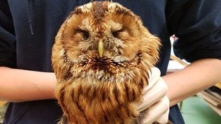 Tawny owl rescued from glue trap in St Columb.