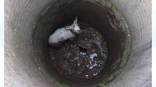The lamb fell 10ft into a muddy well