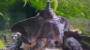 World's 'weirdest turtles' go on display in Scarborough