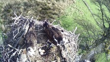 The osprey has laid three eggs.