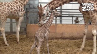 Baby giraffe with adult