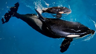 The calf will be the last ever to be born at a SeaWorld park