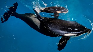 Last-ever killer whale calf to be bred in captivity at SeaWorld is born