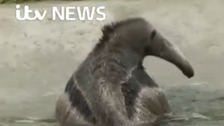 Bathtime for giant anteater at Sussex zoo