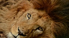 Campaign to find new home for two magnificent lions