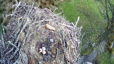 Three eggs in the nest at Bassenthwaite