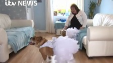English Bulldogs upstage the bride at her wedding!