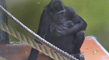 First footage emerges of tiny baby gorilla born at Bristol Zoo