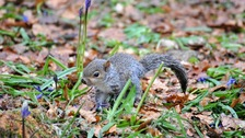 A squirrel at the Ashridge Estate near Dunstable.
