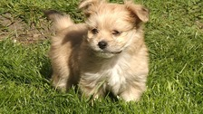 Tiddles, the new puppy, given to a family whose dog was drowned by burglars.