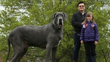 Is this 15 stone Great Dane Britain's heaviest dog?