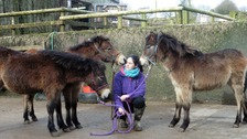Exmoor ponies under threat - charity issues urgent plea