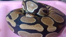 Abandoned python found on busy road in Surrey