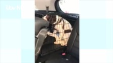 Springer spaniel inside car