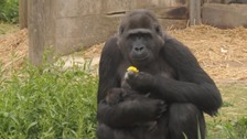 Baby gorilla 'looking strong' says Bristol Zoo keeper