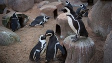 Oxford research looks into declining penguin numbers
