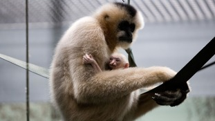 Critically endangered northern white-cheeked gibbon born