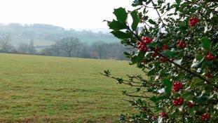 Holly bush and field