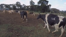 Dumfries dairy experts pioneer cow tech to help African farmers